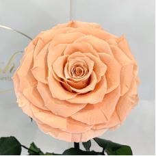Персикова троянда в колбі Lerosh - Lux 33 см