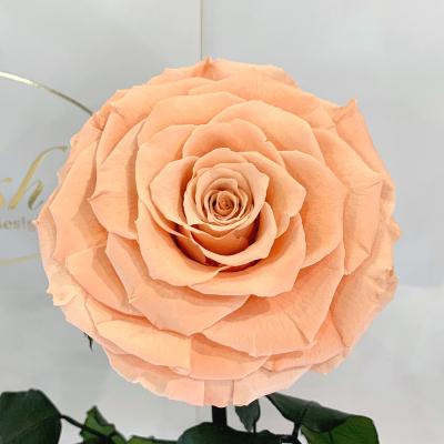 Персиковая роза в колбе Lerosh - Lux 33 см