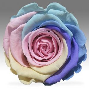 Нежная Радужная роза в колбе