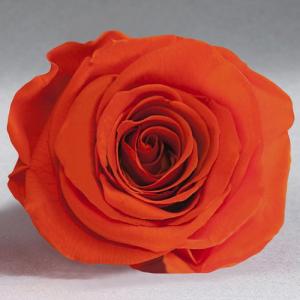 Оранжевая роза в колбе