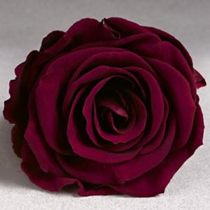 Бордово-малиновая роза в колбе