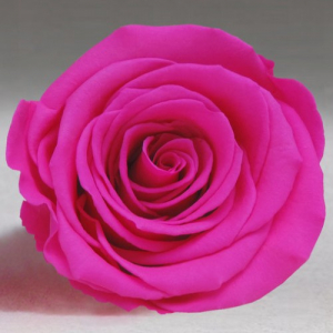 Ярко-розовая роза в колбе